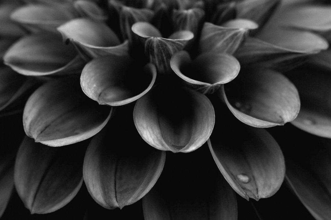 Close up in black and white of swan island dahlia